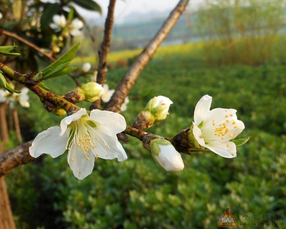 【赏春】白桃花