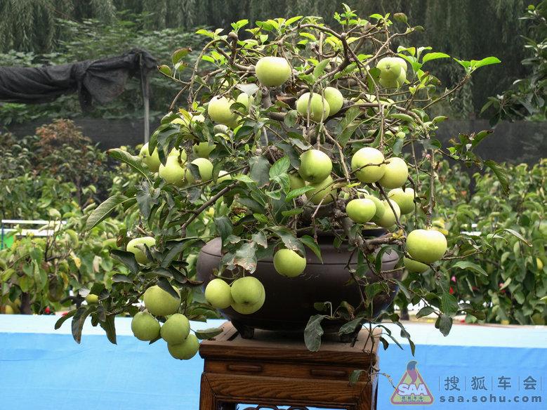 金秋果树盆景展~~果树盆景
