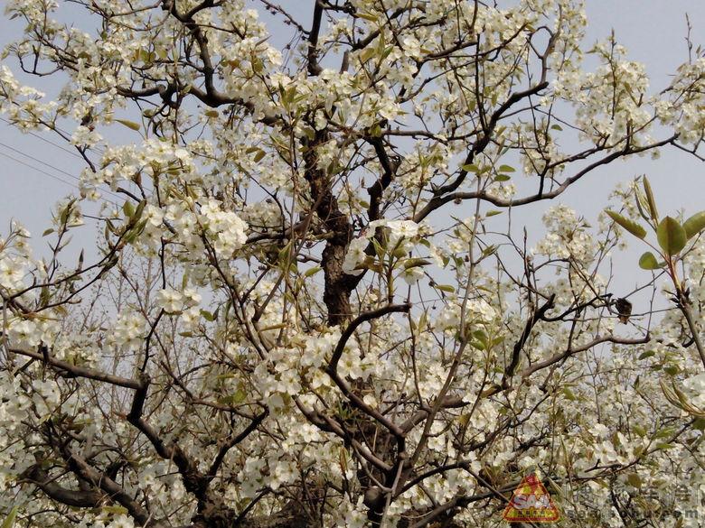 桃花树枝黑白简笔画