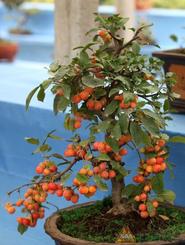 三角湖外拍盆景展之果树盆景