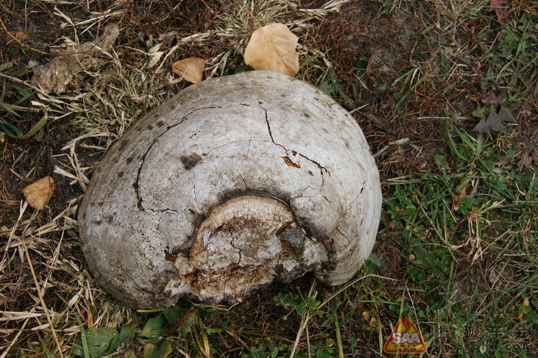 传说中的白桦树蘑菇,类似灵芝