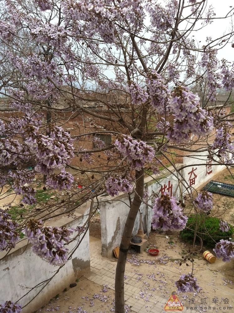 院子里的泡桐树也开花儿了
