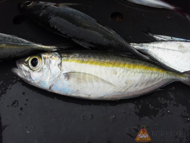 鱼类属於脊索动物门中的脊椎动物亚门