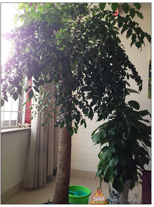 学名菜豆树,还有一大堆的名字.也是常见的室内绿植.