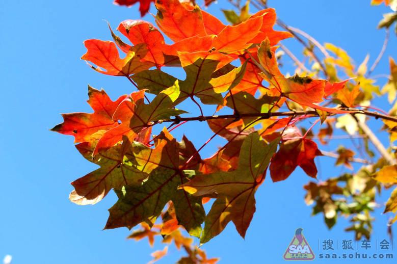 秋天来了,枫叶红了