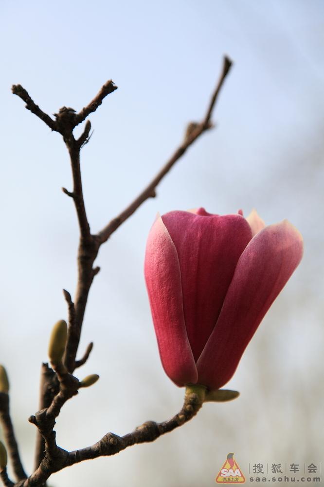 江苏/红玉兰,花瓣外侧呈紫色,又叫紫玉兰;香味浓郁如兰花,也叫...