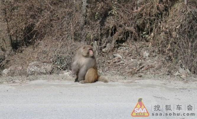 要饭的猴子_从卧龙门口过了之后,路边有野生的猴子在要饭,撒了大把大把的瓜子给