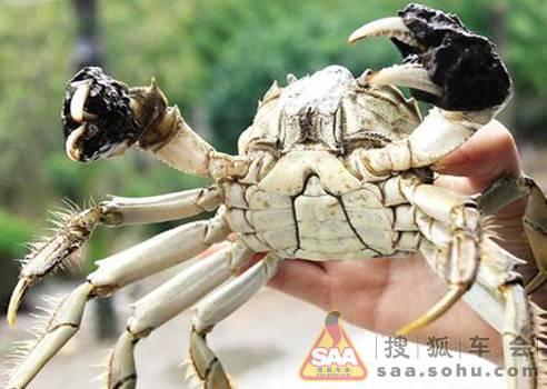 阳澄湖螃蟹图片_上市蟹小于2两不得叫阳澄湖大闸蟹